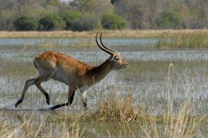 Marsh Antilope Botswana