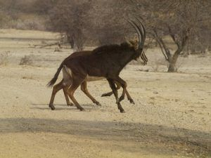 Sable Antelope in Bwabwata National Park. erfahrungsberichte namibia selbstfahrer.