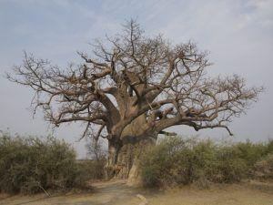Baobab in Bwabwata National Park. namibia safari selbstfahrer.