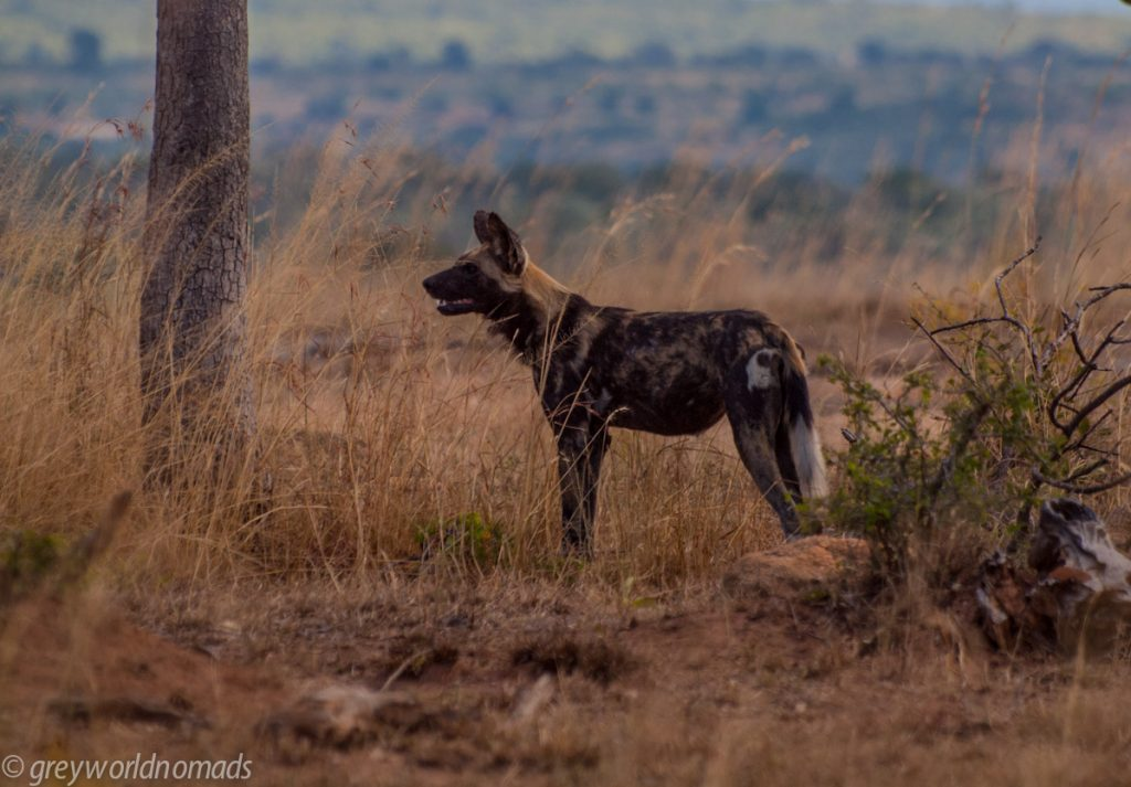 Wild dog near Pretoriuskop