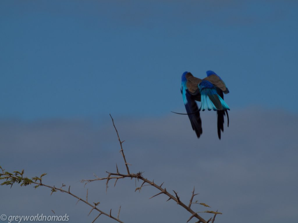 lilac breasted roller flying away