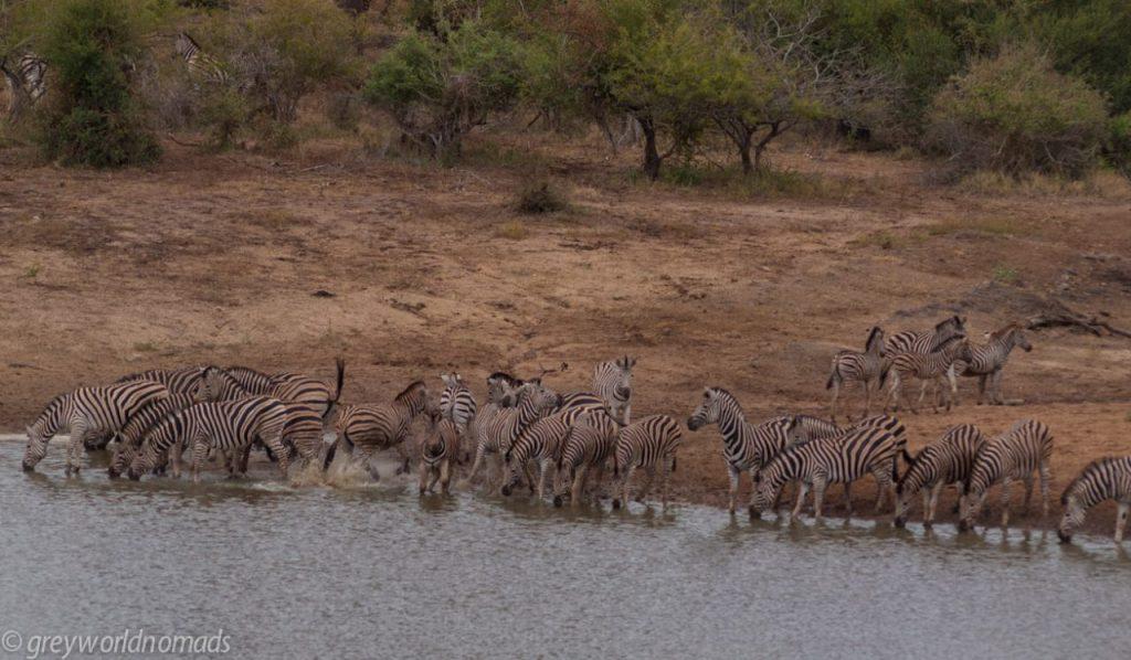 herd of zebras at the waterhole