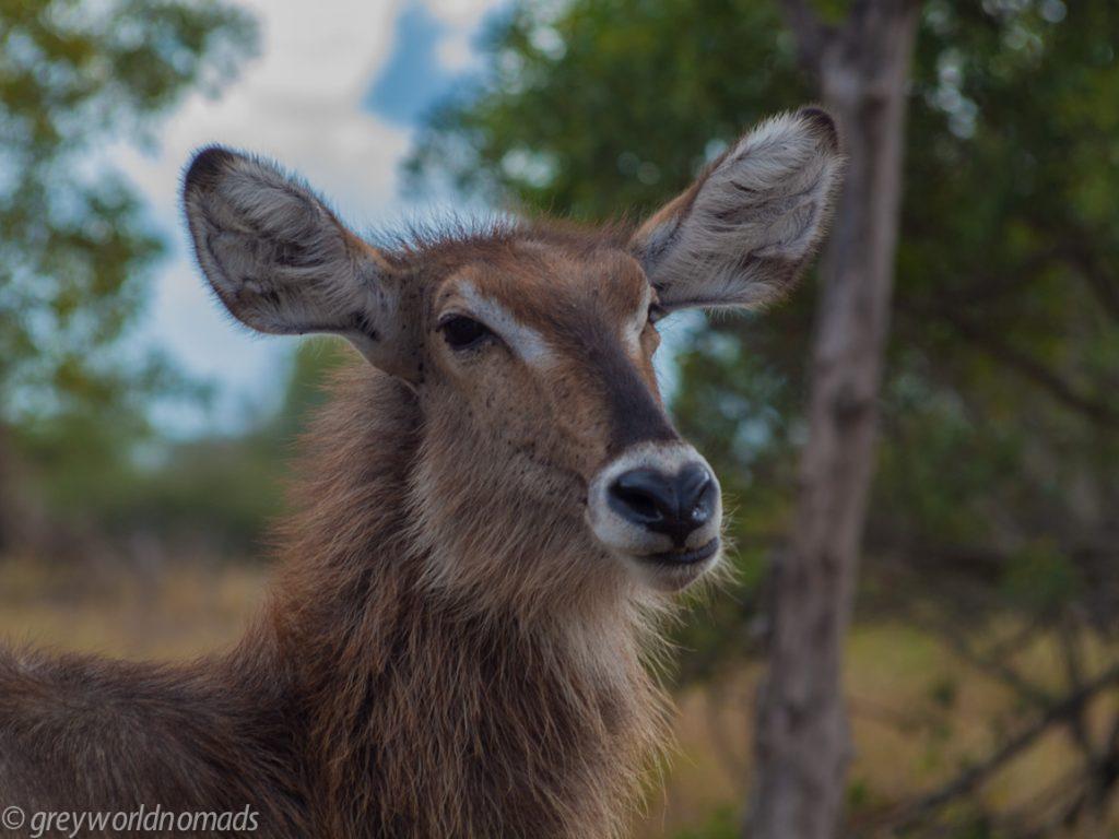 hi you! waterbok giving me an eye
