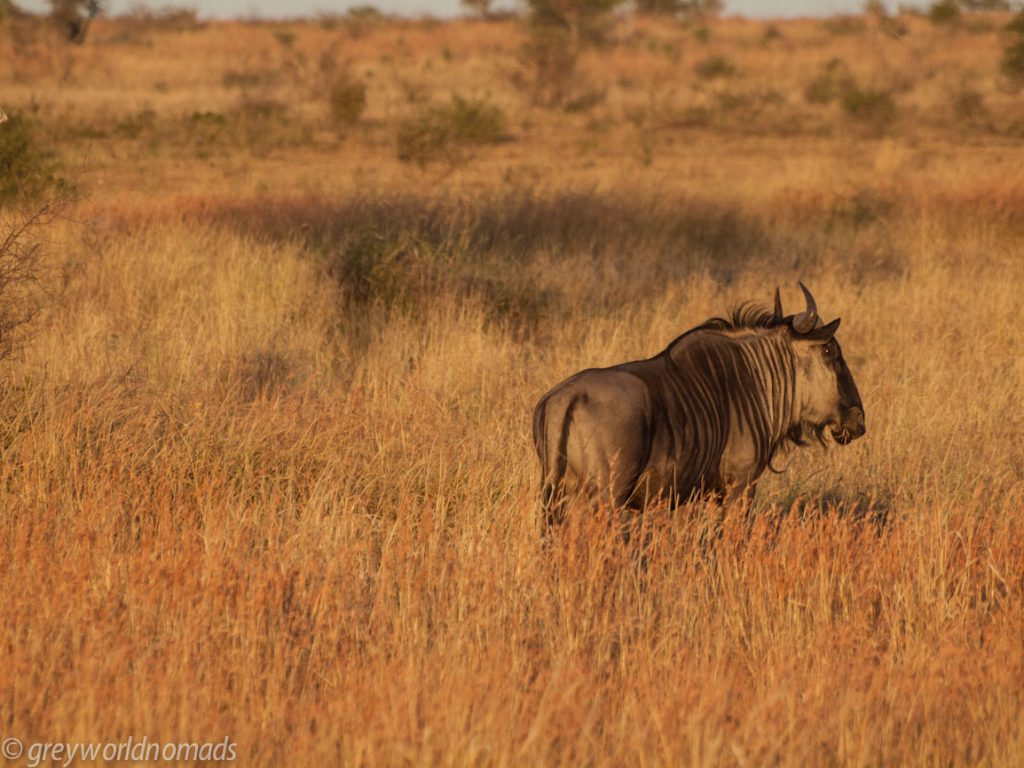 Wildebeest in the evening sun