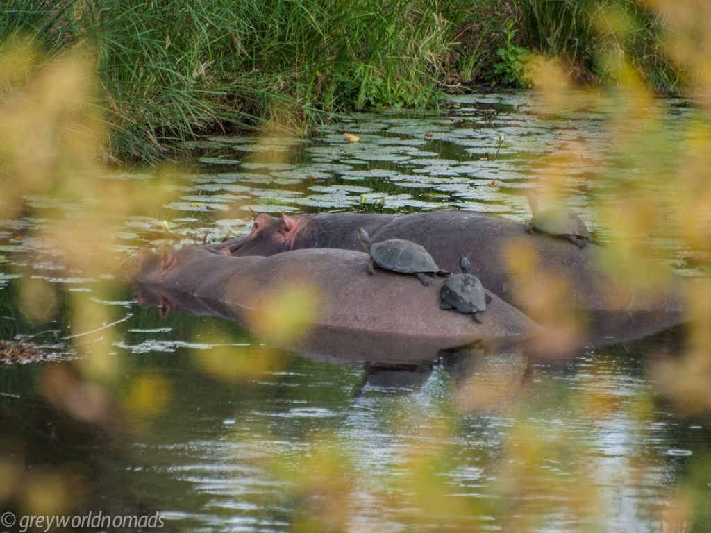 turtles enjoying the sun on a hippo
