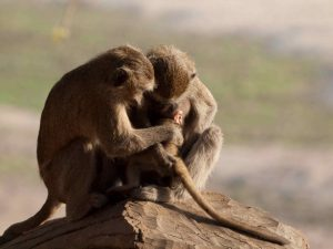 Family Baboon with baby in South Luangwa National Park