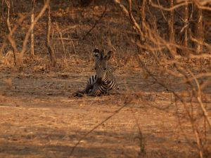 Zebra baby in South Luangwa National Park