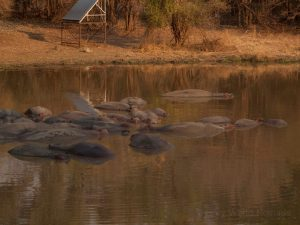 Hippos in South Luangwa National Park