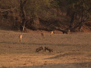 Warthogs in South Luangwa National Park