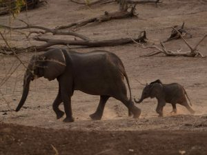 Elephant mother with baby in South Luangwa National Park