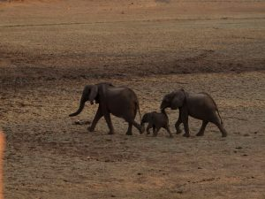 Elephants running with baby in South Luangwa National Park