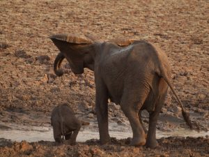 Elephant with baby drinking in South Luangwa National Park