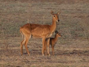 Puku mother with baby in South Luangwa National Park