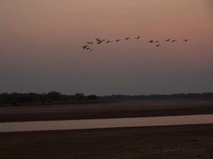 Flock of birds at sunset in South Luangwa National Park