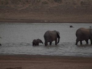 Elephants in Luangwa River