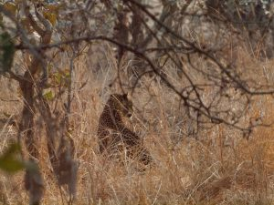 Leopard sitting in dry bush of South Luangwa National Park