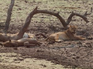 Lions in South Luangwa National Park