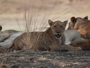 Lioness chilling after kill in South Luangwa National Park