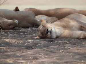 Sleeping Lioness in South Luangwa National Park