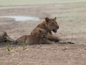 Lion mother with kid in South Luangwa National Park