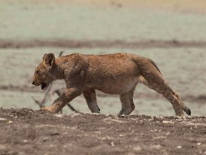 Baby lion ate too much in South Luangwa National Park