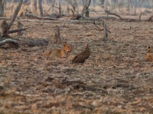 Young lion on dry leafs in South Luangwa National Park