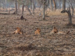 Three lion cubs in South Luangwa National Park