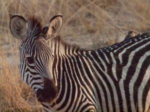 Baby zebra in South Luangwa National Park