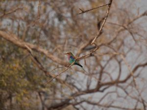 Kingfisher in South Luangwa National Park