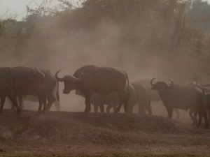 Buffalos in the dust at South Luangwa National Park