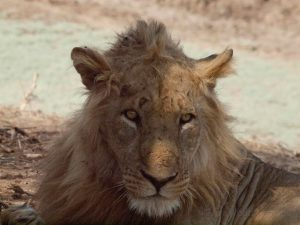 Ragged face of a lion in South Luangwa National Park
