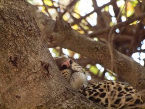 Beauty of a leopard in a tree at South Luangwa National Park