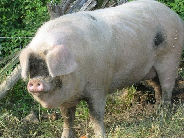 640px-Gloucestershire_Old_Spot_sow_2