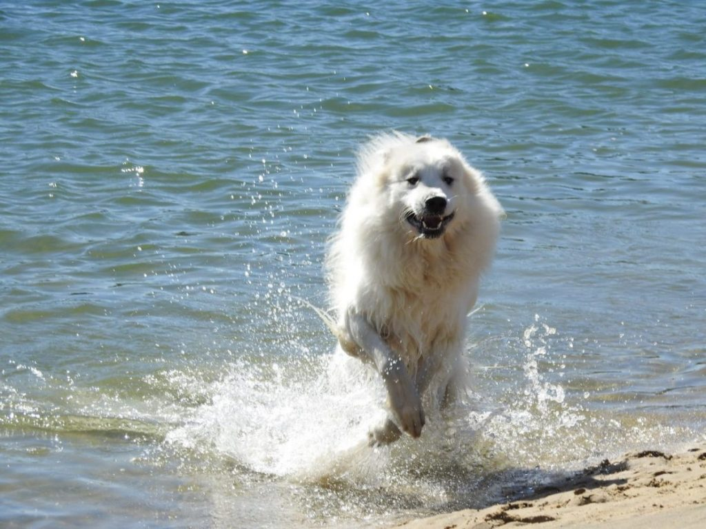 Pyreneen Mountain Dog in Capbreton, Le Lande, France