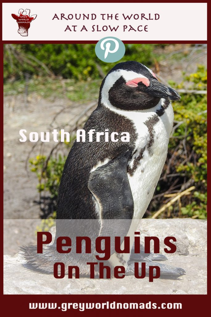penguins-southafrica