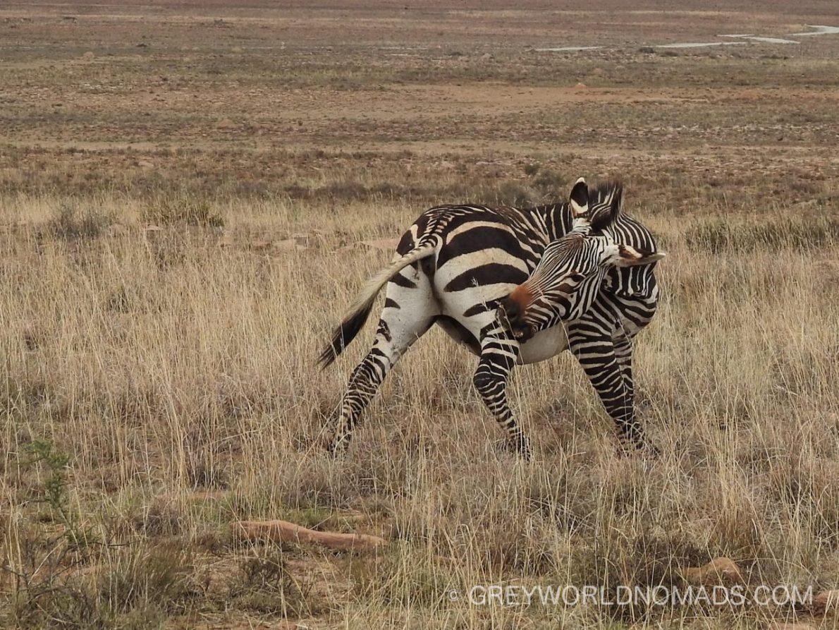 mountain-zebra-nationalpark-28.jpg