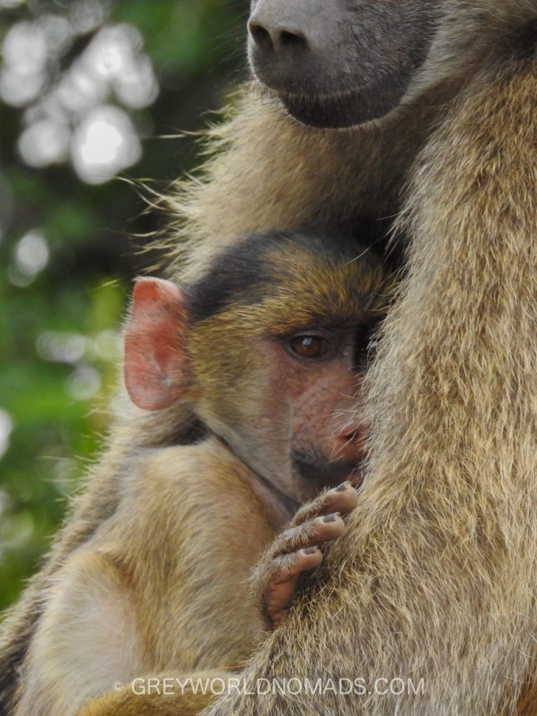 baby-baboon-kruger-southafrica-1.jpg