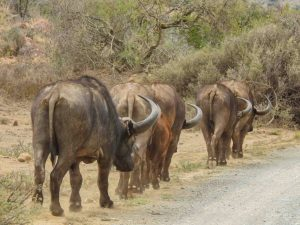 Buffaloes, Mountain Zebra National Park, South Africa