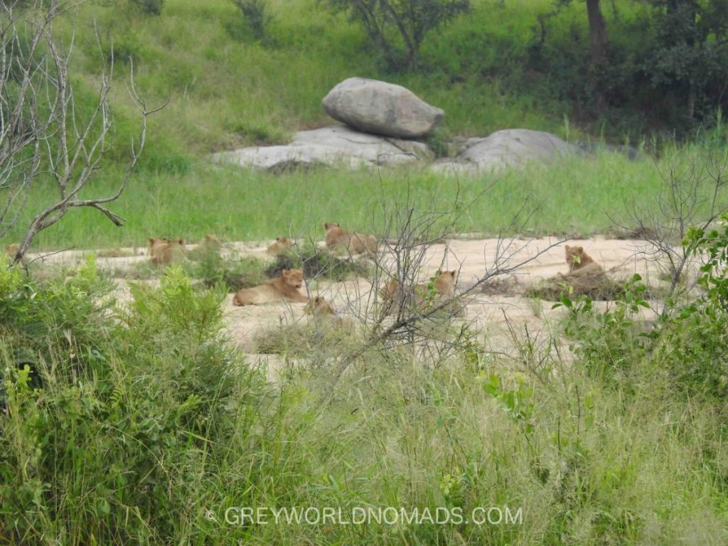lion-bride-kruger-southafrica-1