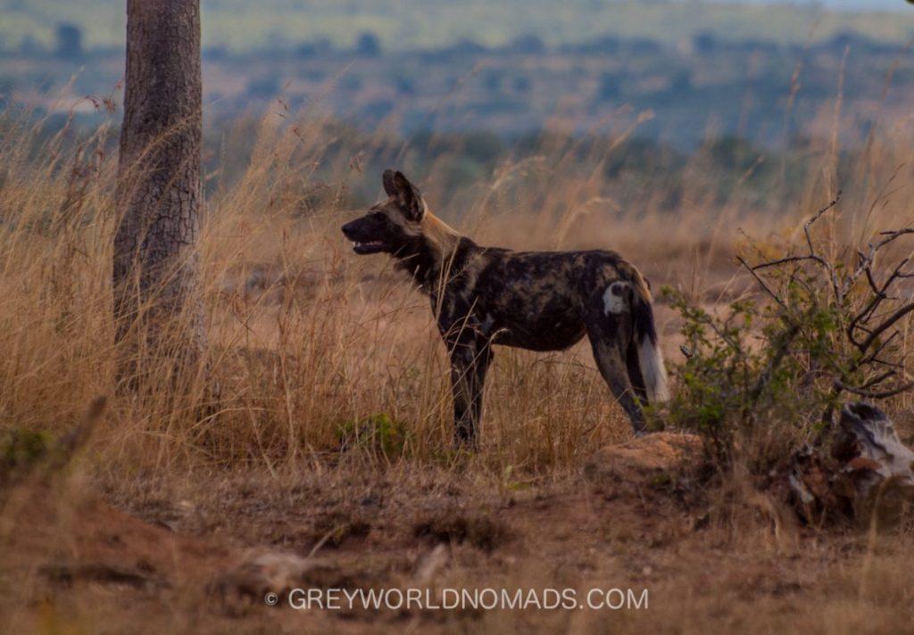 wild-dog-kruger-southafrica-1.jpg
