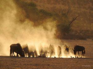 Wildlifephotography: Wildebeest approaching a waterhole in dust devils. Kgalagadi, South Africa Wildtierfotografie: Gnus nähern sich einem Wasserloch im aufgewirbelten Staub. Kgalagadi, Südafrika