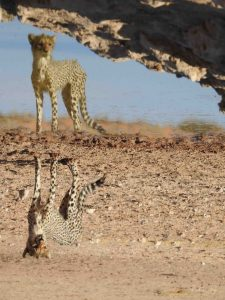 Cheetah, Kgalagadi, South Africa