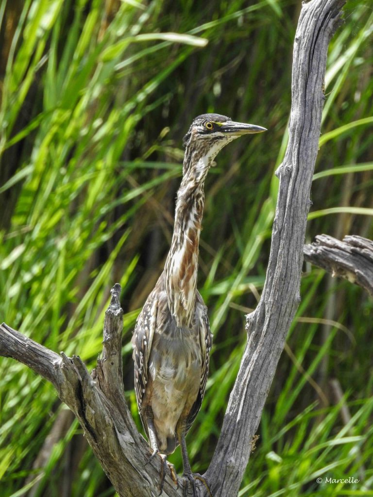 Camouflaged Heron