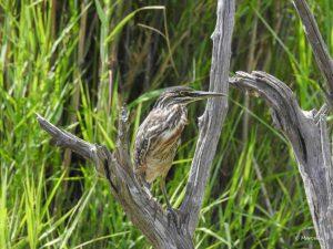Marcelle's Wildlife Photography: Lake Panik Camouflage Artist, Kruger National Park, South Africa Marcelle's Wildtier Fotografie: Lake Panik Tarnungskünstler, Kruger Nationalpark, Südafrika