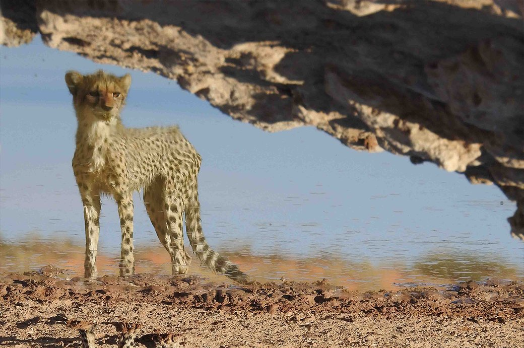 Marcelle's Wildlife Photography: Cheetah Cub in Kgalagadi Transfrontier Park, South Africa Marcelle's Wildtierfotografie: Gepardenjunges im Kgalagadi Transfrontier Park, Südafrika