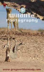 wildlife-photography-cheetah-1