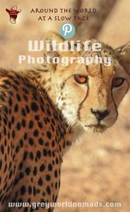 wildlife-photography-cheetah-with-amber-eyes