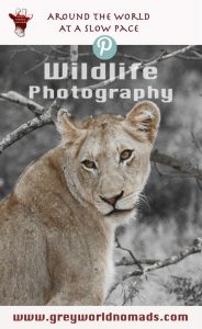 Wildlife Photography: Young Lioness in Kruger National Park, South Africa