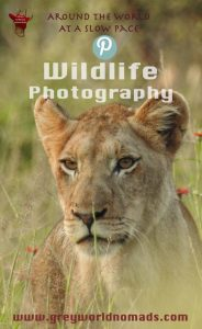Marcelle's Wildlife Photography: Lioness In Lush Kruger National Park, South Africa Wildtierfotografie: Löwin im üppigen Kruger National Park, Südafrika