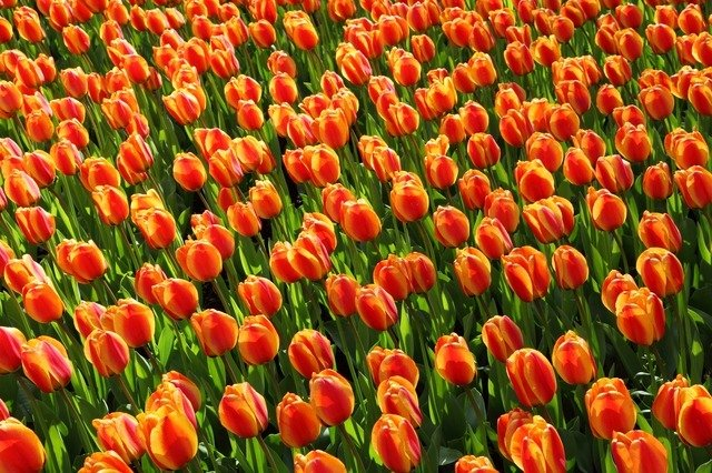 tulpenbl te in holland mit keukenhof 2018 ffnungszeiten the wild life. Black Bedroom Furniture Sets. Home Design Ideas